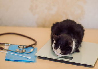 Veterinarian weighs a cat on the initial examination on the table with a stethoscope and medical supplies