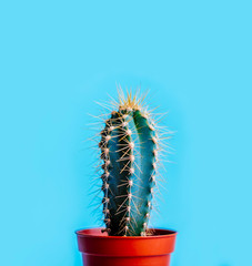 Green cactus in decor pot over bright blue pastel background. Colorful summer trendy creative concept.