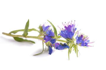Wall Mural - Viper's Bugloss flower