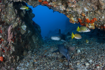 Whitetip Reef Sharks and Fish in Deep Cave at Cocos Island