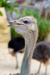 ostrich close up head