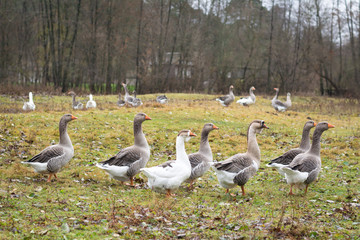 A flock of geese in the field