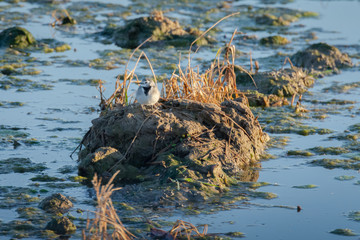 white wagtail (Motacilla alba) at sunset in a flooded rice field in the natural park of Albufera, Valencia, Spain. Perfect natural background.