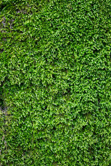 empty texture background of green moss, nobody, big size