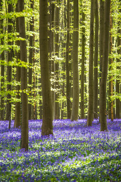Hallerbos forest with purple flowers near Halle, Bruxelles, Belgium