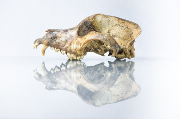 side view of dog skull with white background and reflection
