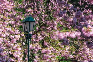 lantern among cherry blossom. beautiful urban scenery