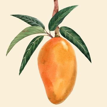 Watercolor mango fruit vector illustration