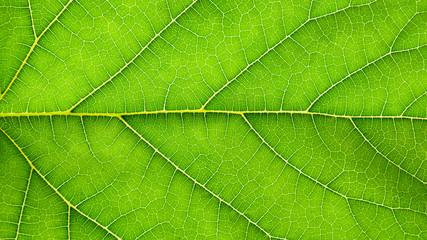 Fototapete - green pumpkin leaves texture - background