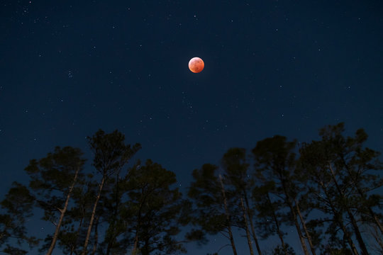 Super Blood Wolf Moon over Pine Trees in Eastern NC