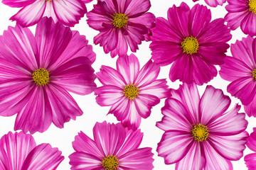 cosmos flower background