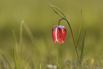 The fritillary named Snake's Head with a purple chequered flower with green background.