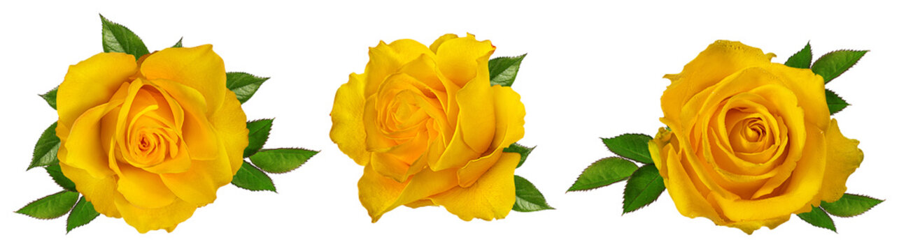 Fresh beautiful yellow rose isolated on white background with clipping path