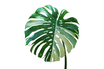 Variegated Leaf of Monstera Plant Isolated on White Background