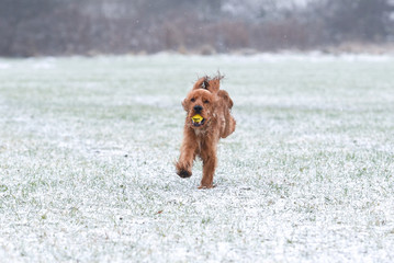 Cocker Spaniel Snow Day - Running with a yellow ball