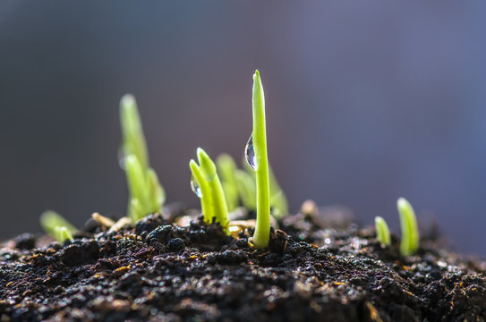 Dew drop on fresh young wheat sprouts