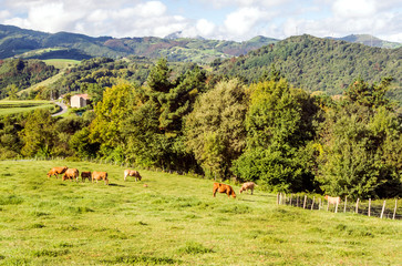 Cows in the mountains in the Basque Country in Spain on a cloudy day
