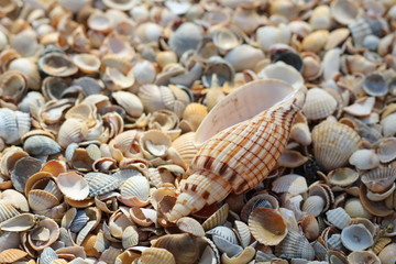 One large seashell lies on top of many small round seashells