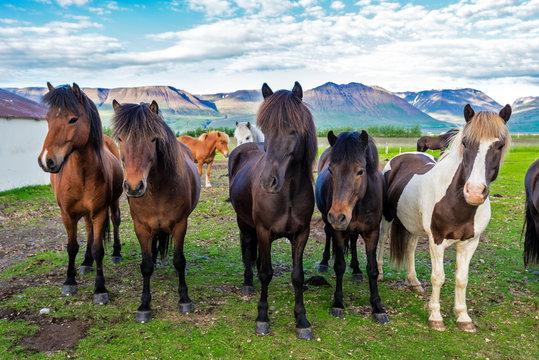 Icelandic horses in the farm  of Varmahlid village. Skagafjordur municipality in Northwestern Iceland