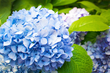 Spoed Fotobehang Hydrangea Beautiful blue hydrangea or hortensia flower close up. Artistic natural background. flower in bloom in spring