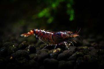 Tiger shrimp pets aquarium fresh water nature pets