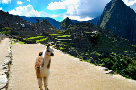 Llama in Machu Picchu - Peru