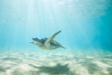 Foto op Aluminium Dolfijn Sea Turtle Swimming in Clear Tropical Water Over Sand and Thru Sun Rays