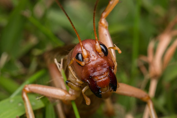 Nature Scene of giant cricket in Sabah, Borneo , Close-up image of Giant Cricket