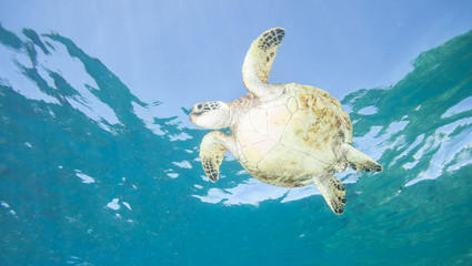 Sea Turtle from Below