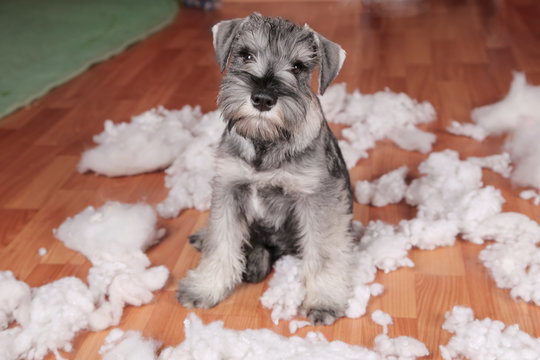 Naughty bad cute schnauzer puppy dog made a mess at home, destroyed plush toy. The dog is home alone.