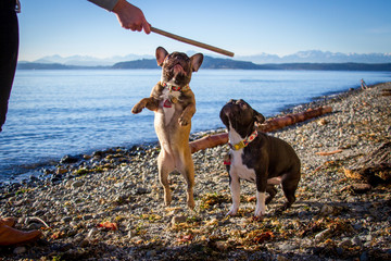 Two French bulldog puppies play with a stick on the beach with mountains in the background.