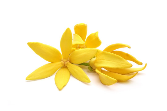 Ylang ylang flowers : Ylang Ylang or Ilang ilang (Cananga odorata) valued for perfume extracted from its flowers,  which is an essential oil used in aromatherapy. Ylang-Ylang flower isolated on white