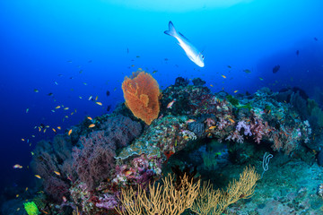 Clouds of colorful tropical fish swimming around a healthy tropical coral reef