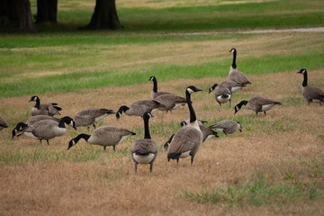 group of geese on grass