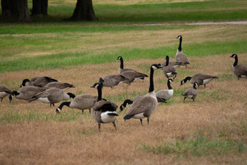 group of geese on green grass