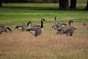group of canadian geese on green grass