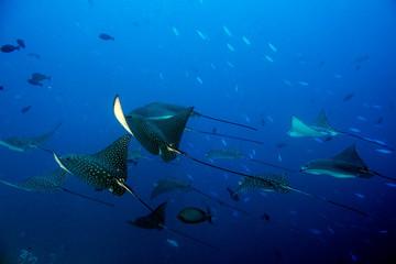 eagle ray manta while diving in Maldives