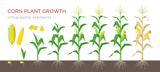 Corn growing stages vector illustration in flat design. Planting process of corn plant. Maize growth from grain to flowering and fruit-bearing plant isolated on white background. Ripe corn and grains. Fototapete
