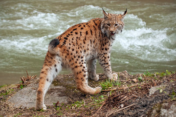 Eursian lynx near water stream looking behind itself. Endangered mammal predator persecuted in natural environment.