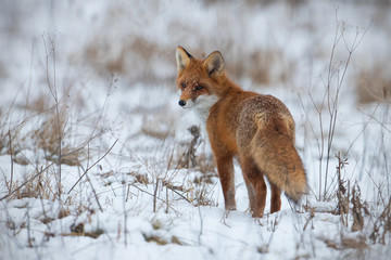 Red fox, vulpes vulpes, on snow in winter. Wild predator in cold weather. Wildlife scenery from nautre.