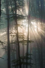 Sun rays in the beech Forest. Sun rays pass through morning in the deciduous forest.