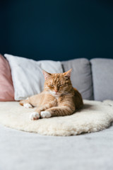 A red cat on grey couch with sheepskin against a dark blue wall.