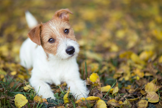 Pet training concept - cute happy jack russell dog puppy looking in the grass