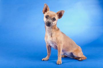 Studio shot of an brown Chihuahua dog