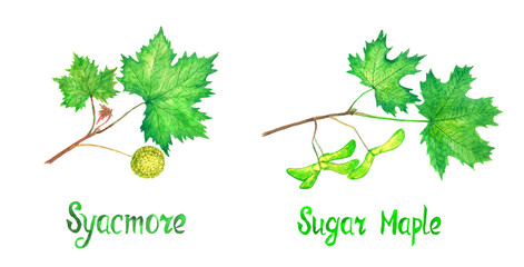 Sycamore (american sycamore tree, platanus occidentalis) Sugar maple branch with green leaves and fruit, seeds, hand painted watercolor illustration with inscription isolated on white set