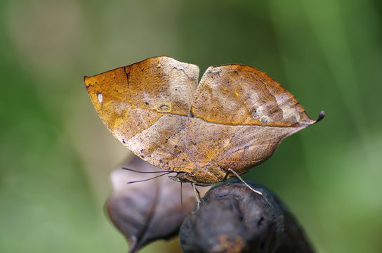 Close-up on kallima butterfly know as oakleaf