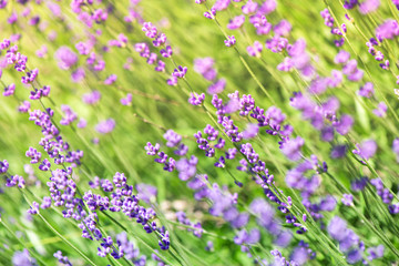Blossoming lavender field, meadow at sunrise, springs blossoms for bees collecting nectar and pollinating new flowers. Beautiful summer morning or evening purple background.