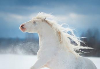white beautiful irish cob with long mane winter portrait in motion