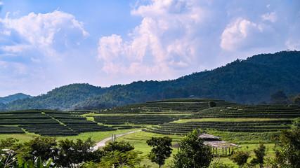 Tea plantations in Chieng rai, Thailand.