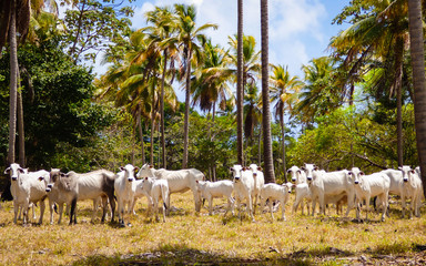 A herd of cows staring curiously, coconut trees in the background (Itamaraca Island - Pernambuco, Brazil)